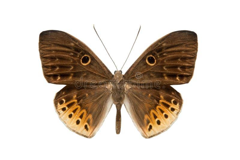 Πεταλούδα Nemeobiiidae στοκ εικόνα