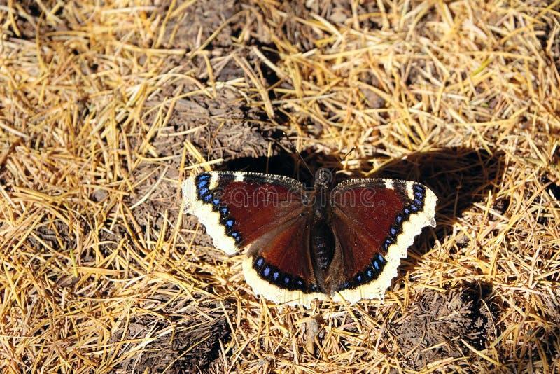 Πεταλούδα Nymphalidae στοκ εικόνα με δικαίωμα ελεύθερης χρήσης