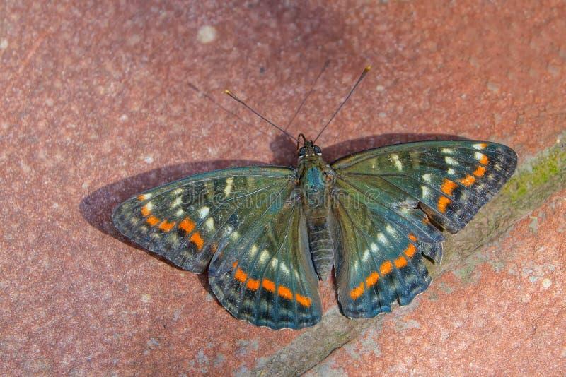 Πεταλούδα Nymphalidae στοκ φωτογραφίες με δικαίωμα ελεύθερης χρήσης