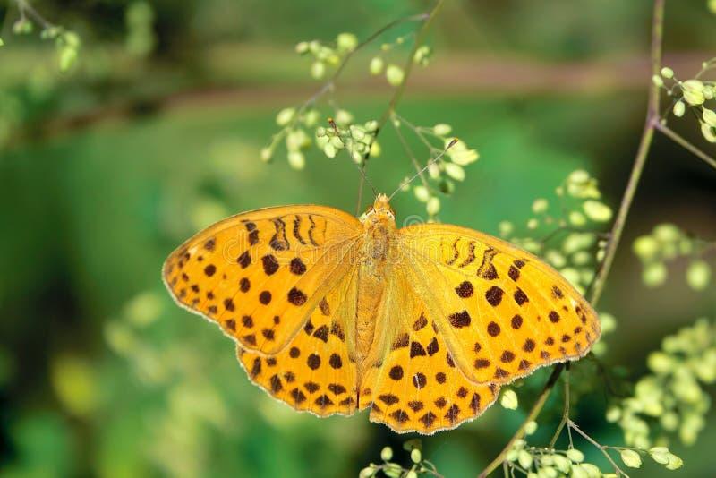 Πεταλούδα Nymphalidae στοκ φωτογραφία με δικαίωμα ελεύθερης χρήσης