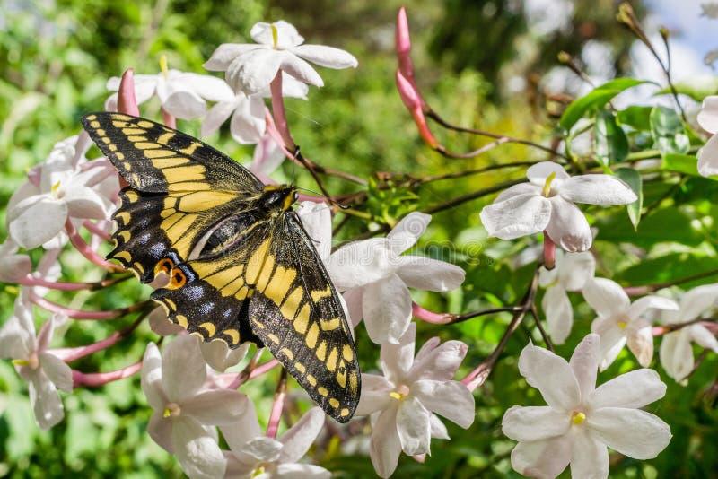 Πεταλούδα Swallowtail γλυκάνισου που στηρίζεται στα λουλούδια της Jasmine, Καλιφόρνια στοκ φωτογραφία