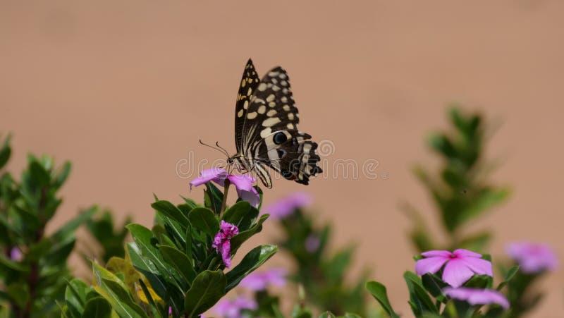 Πεταλούδα Swallowtail εσπεριδοειδών στοκ φωτογραφίες