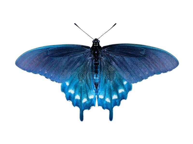 πεταλούδα swallowtail στοκ φωτογραφία