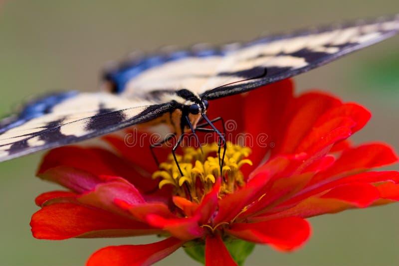 πεταλούδα Zinnia στοκ φωτογραφία με δικαίωμα ελεύθερης χρήσης