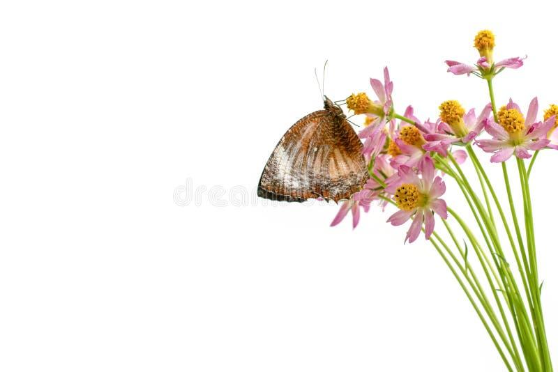Πεταλούδες επάνω από το άσπρο υπόβαθρο λουλουδιών στοκ εικόνα