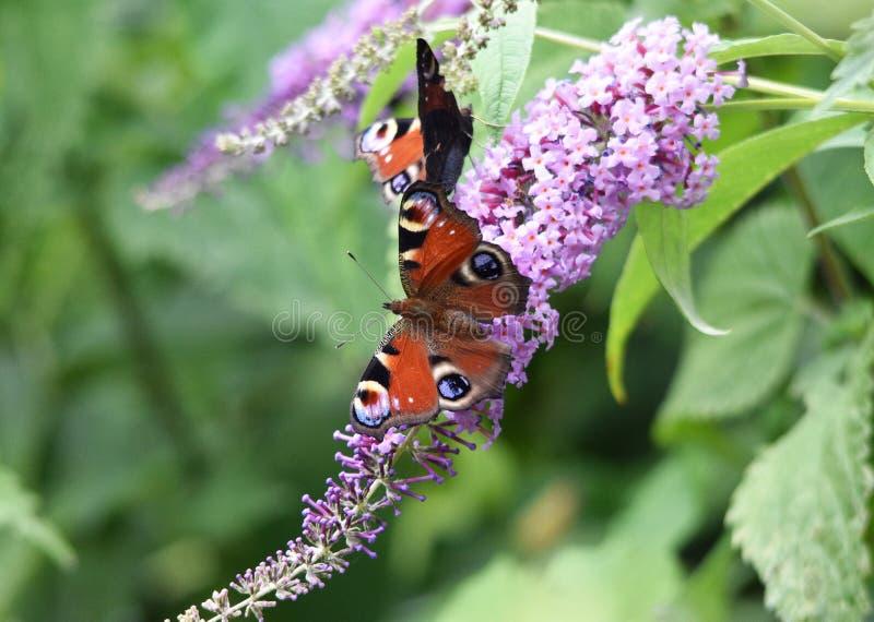 Πεταλούδες Peacock στοκ φωτογραφία με δικαίωμα ελεύθερης χρήσης