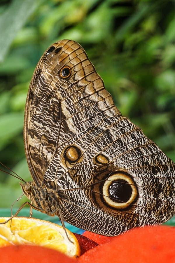 Πεταλούδα κουκουβαγιών στοκ φωτογραφία με δικαίωμα ελεύθερης χρήσης