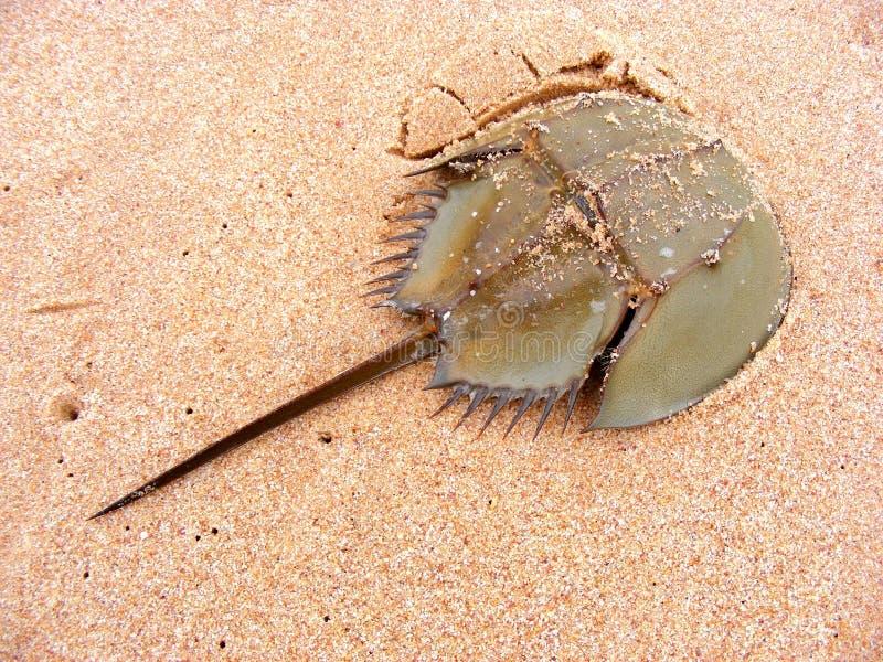 Πεταλοειδές καβούρι στην παραλία άμμου στοκ φωτογραφία
