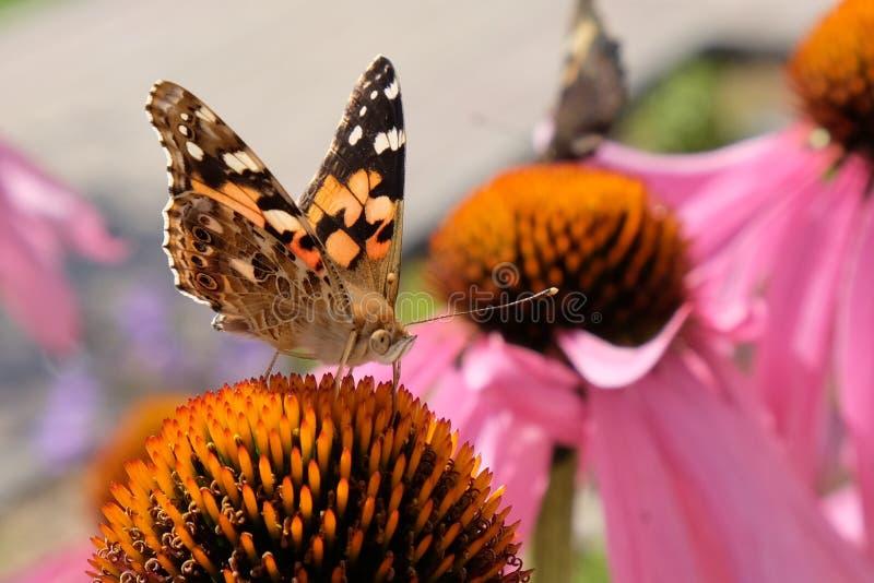 πεταλούδαη στοκ φωτογραφίες