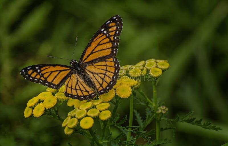 Πεταλούδα αντιβασιλέων στοκ εικόνες με δικαίωμα ελεύθερης χρήσης