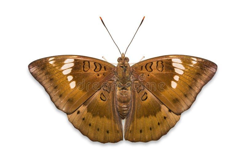 Πεταλούδα βαρώνων μάγκο στοκ φωτογραφίες με δικαίωμα ελεύθερης χρήσης