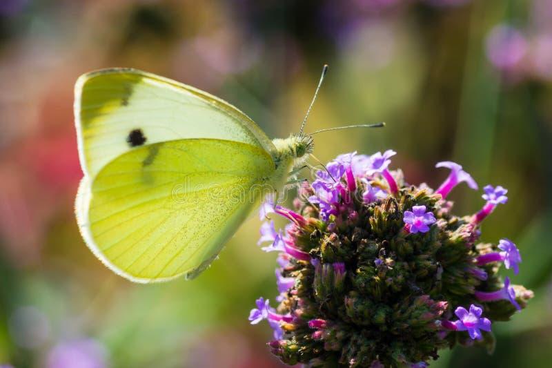 Πεταλούδα λευκού λάχανων στη μέντα βουνών στοκ φωτογραφίες με δικαίωμα ελεύθερης χρήσης