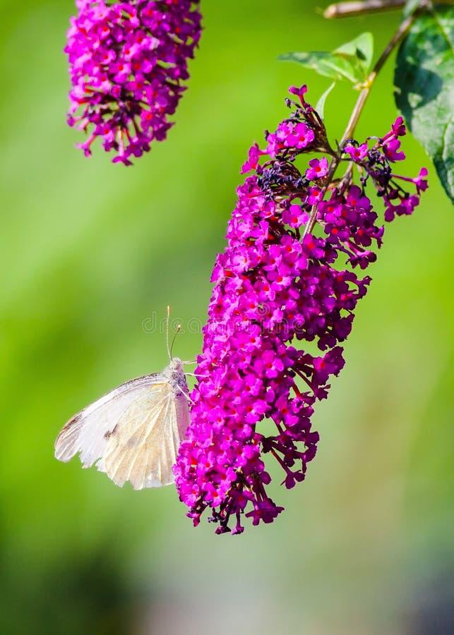 Πεταλούδα λευκού λάχανων στοκ φωτογραφίες με δικαίωμα ελεύθερης χρήσης