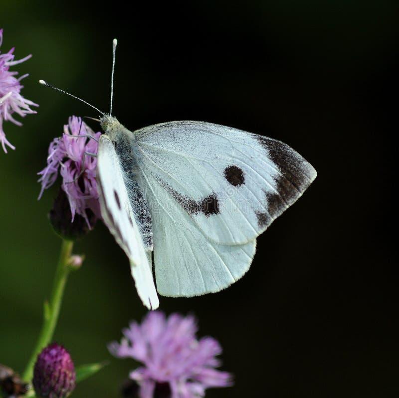 Πεταλούδα λευκού λάχανων.  Brassicae Pieris στοκ φωτογραφία με δικαίωμα ελεύθερης χρήσης