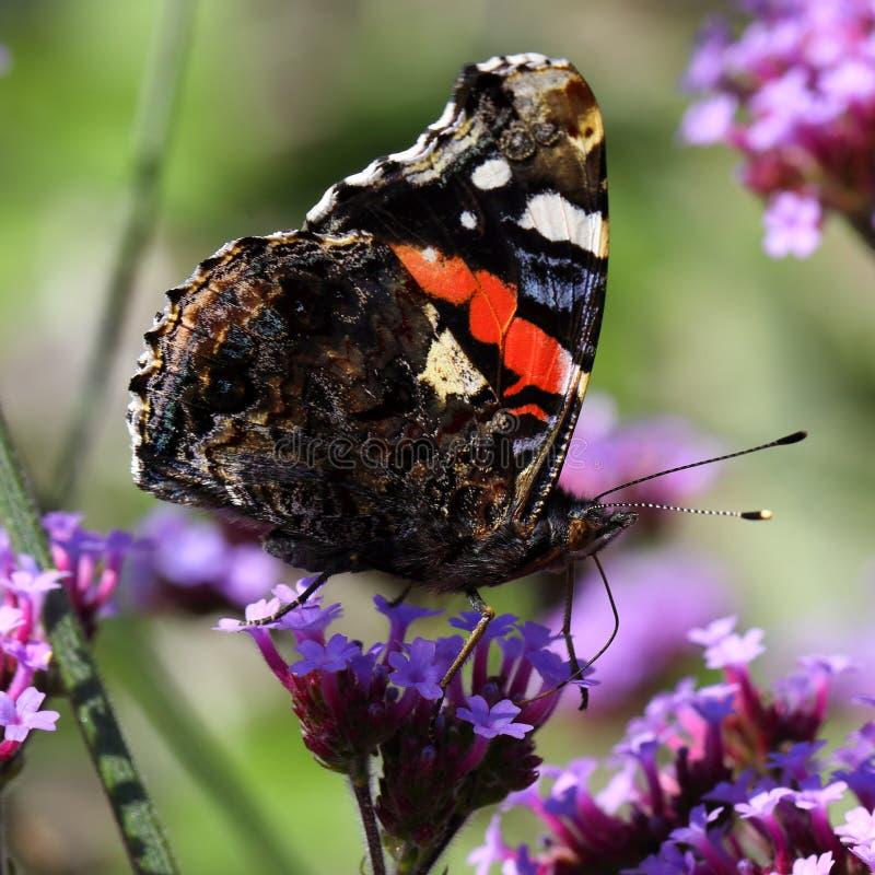 πεταλούδα η κόκκινη Vanessa atalanta να στοκ εικόνες
