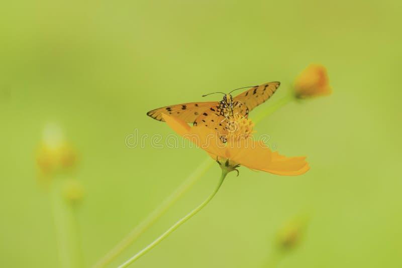 Πεταλούδα κινηματογραφήσεων σε πρώτο πλάνο στο λουλούδι στοκ εικόνες με δικαίωμα ελεύθερης χρήσης