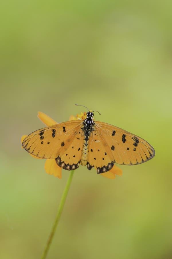 Πεταλούδα κινηματογραφήσεων σε πρώτο πλάνο στο λουλούδι στοκ εικόνες