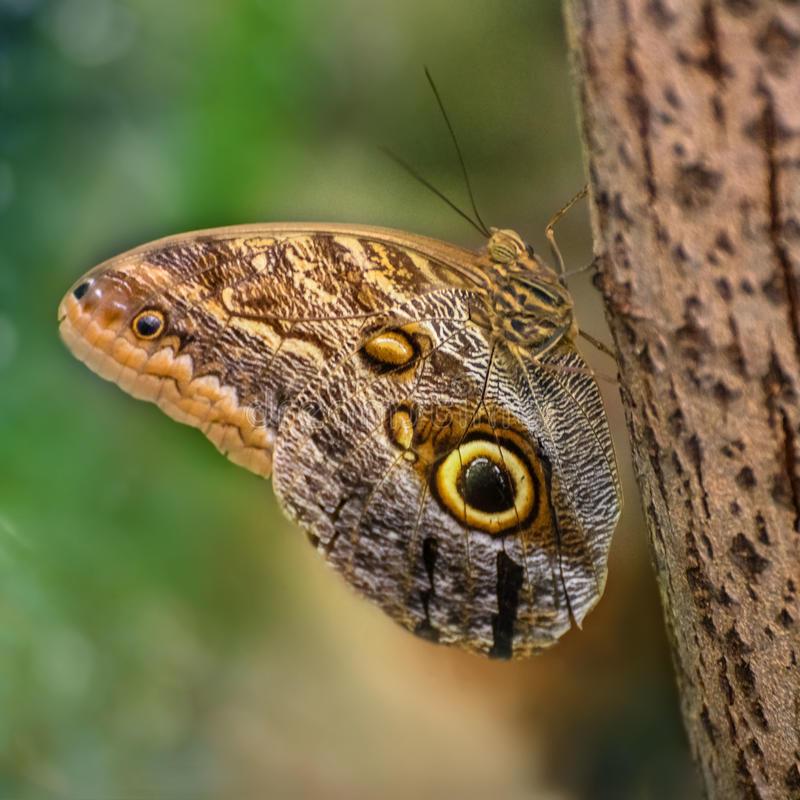 Πεταλούδα κουκουβαγιών με τα φτερά που διακοσμούνται με τα μεγάλα μάτια Το Caligo memnon, η γιγαντιαία κουκουβάγια ή η χλωμή κουκ στοκ εικόνες με δικαίωμα ελεύθερης χρήσης