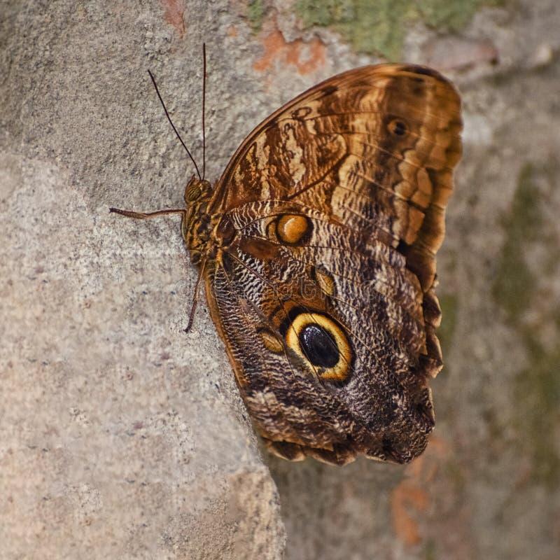 Πεταλούδα κουκουβαγιών με τα φτερά που διακοσμούνται με τα μεγάλα μάτια Το Caligo memnon, η γιγαντιαία κουκουβάγια, είναι μια πετ στοκ φωτογραφία με δικαίωμα ελεύθερης χρήσης