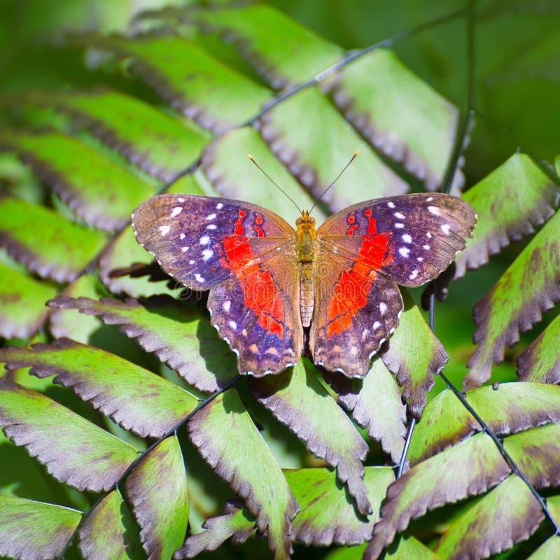 Πεταλούδα κόκκινο Peacock Anartia Amathea στοκ εικόνα