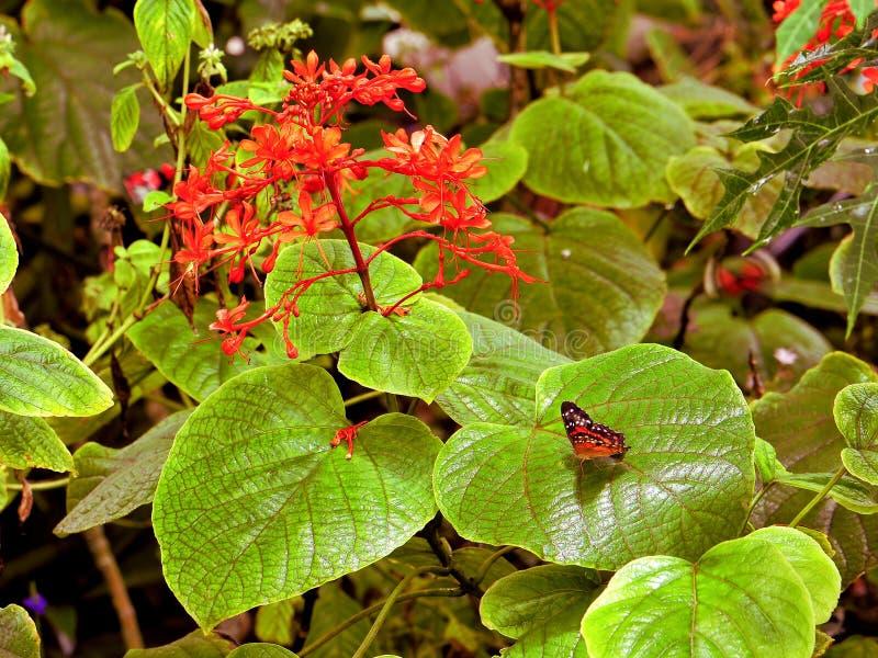Πεταλούδα κόλλεϊ εκτός από τα κόκκινα λουλούδια στοκ εικόνες