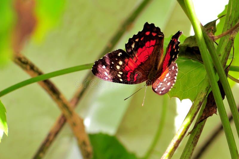 Πεταλούδα κόλλεϊ που στέκεται στο πράσινο φύλλο στο κλουβί στοκ φωτογραφίες