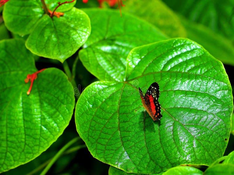 Πεταλούδα κόλλεϊ στο μεγάλο πράσινο φύλλο στοκ εικόνα