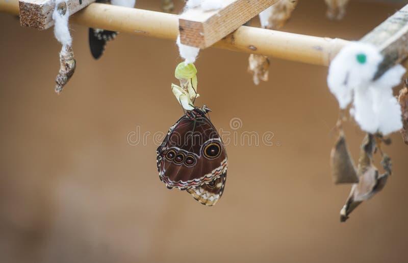 Πεταλούδα με το κουκούλι στοκ εικόνες