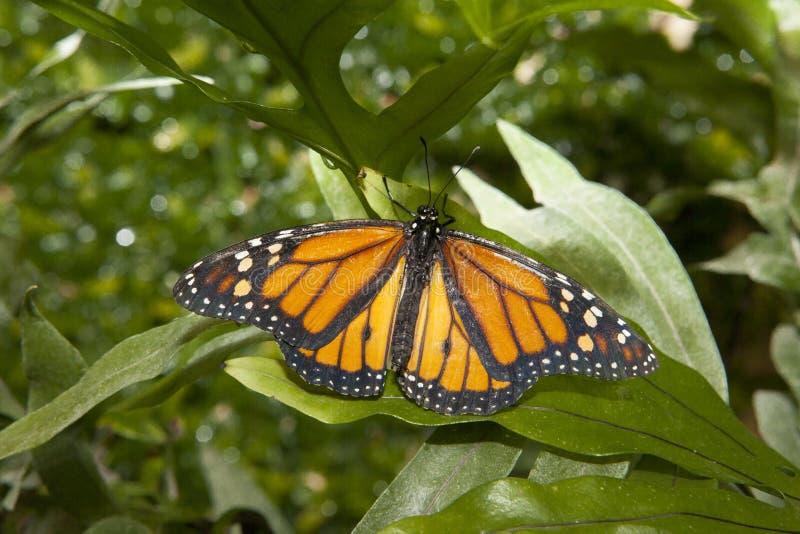 Πεταλούδα μοναρχών πέρα από πράσινο στοκ εικόνες