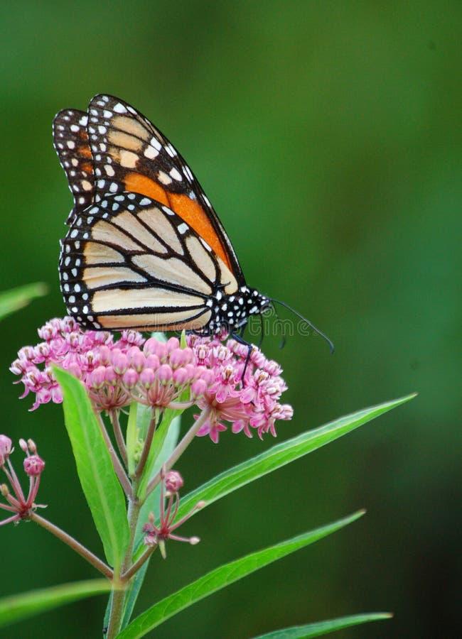 Πεταλούδα μοναρχών στο έλος Milkweed στοκ εικόνα