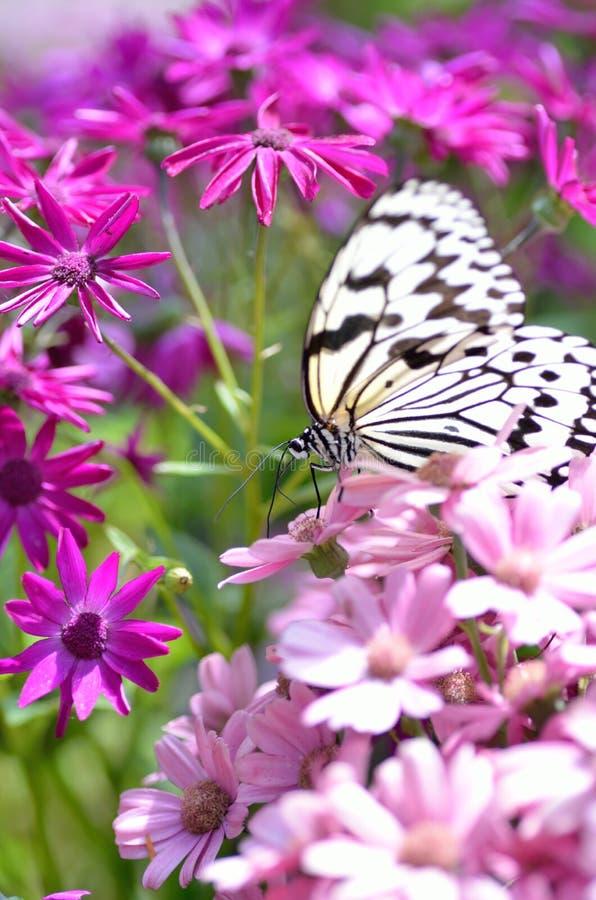 Πεταλούδα νυμφών δέντρων στοκ φωτογραφία με δικαίωμα ελεύθερης χρήσης