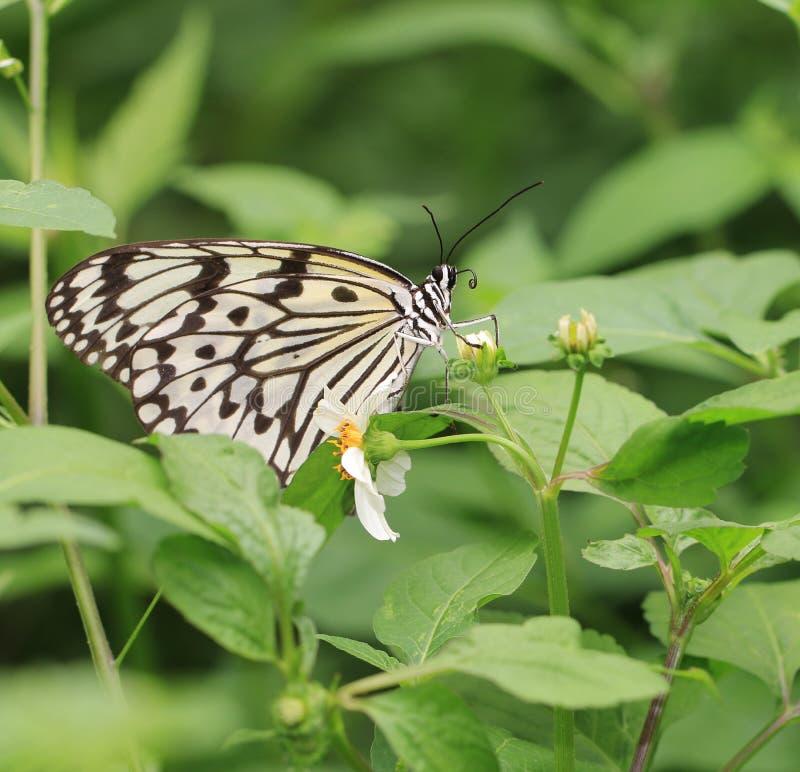 Πεταλούδα, νύμφες δέντρων, ιδέα ieuconoe στοκ φωτογραφίες