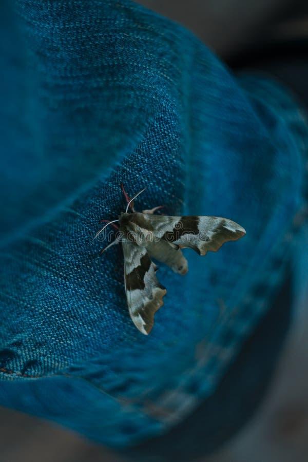 Πεταλούδα νύχτας στα τζιν Η κατάπληξη φαίνεται φτερά όμορφο έντομο στοκ εικόνα με δικαίωμα ελεύθερης χρήσης