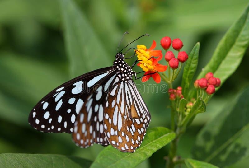 Πεταλούδα που συλλέγει τη γύρη από μικρές εγκαταστάσεις στοκ φωτογραφίες με δικαίωμα ελεύθερης χρήσης