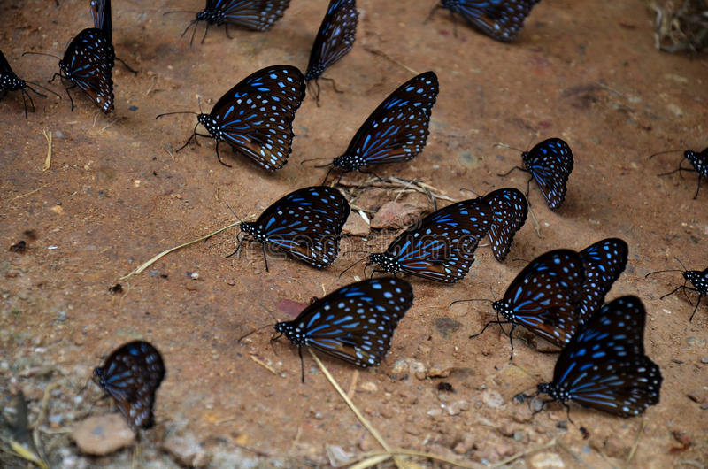 Πεταλούδα που τρώει τα αλατισμένα γλειψίματα στο έδαφος στοκ εικόνα