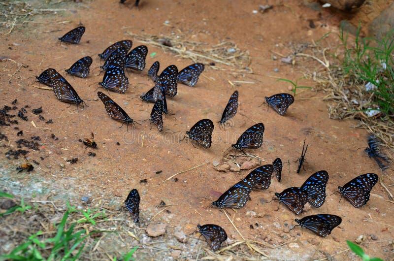 Πεταλούδα που τρώει τα αλατισμένα γλειψίματα στο έδαφος στοκ εικόνα με δικαίωμα ελεύθερης χρήσης