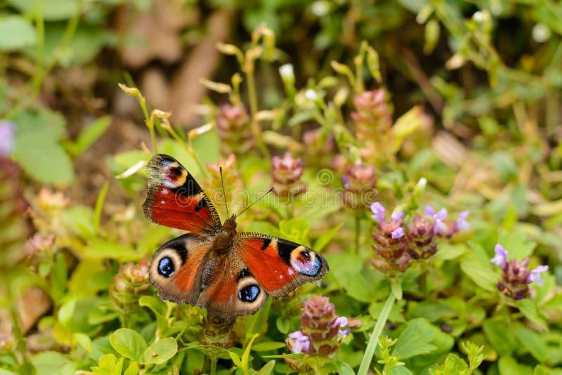 Πεταλούδα σε ένα άγριο λουλούδι στοκ εικόνα με δικαίωμα ελεύθερης χρήσης
