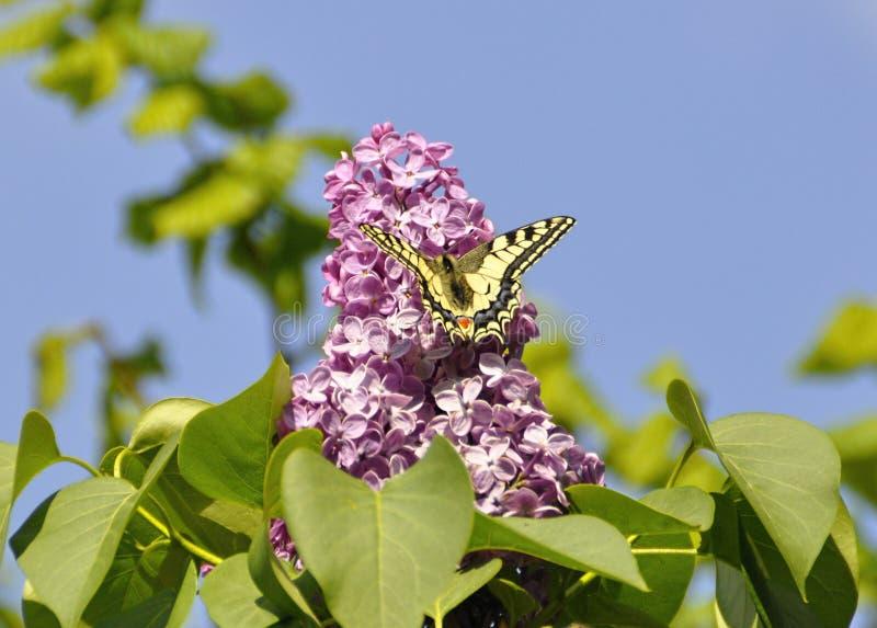 Πεταλούδα σε ένα ιώδες άνθος μιας ιώδους κινηματογράφησης σε πρώτο πλάνο στοκ φωτογραφία