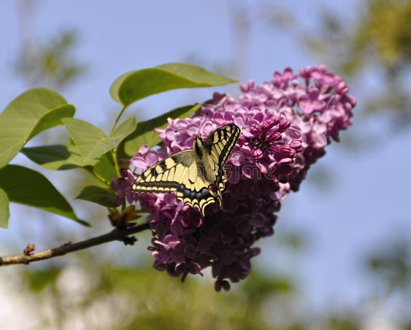 Πεταλούδα σε ένα ιώδες άνθος μιας ιώδους κινηματογράφησης σε πρώτο πλάνο στοκ εικόνες με δικαίωμα ελεύθερης χρήσης