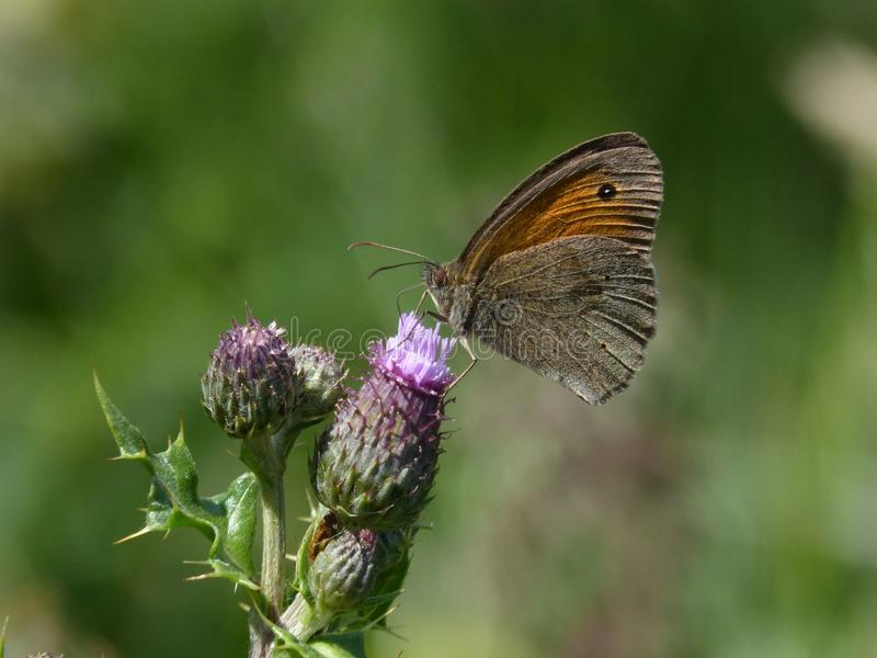 Πεταλούδα σε ένα λουλούδι στοκ φωτογραφία