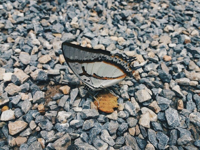 Πεταλούδα στην πέτρα στοκ φωτογραφία