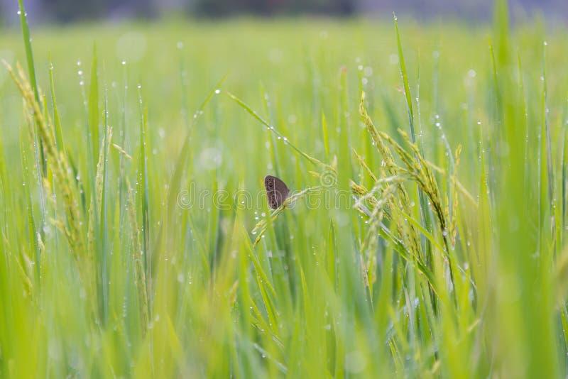 Πεταλούδα στον τομέα ρυζιού στοκ εικόνα με δικαίωμα ελεύθερης χρήσης