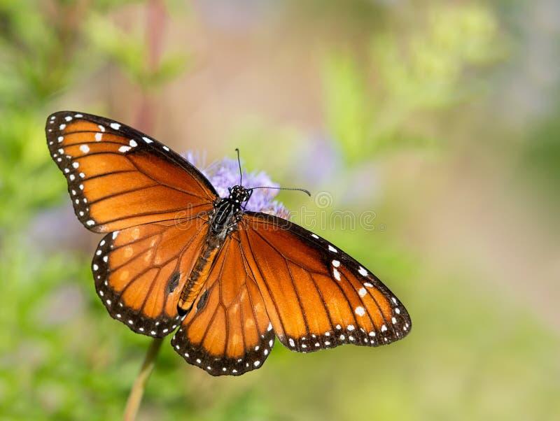 Πεταλούδα στρατιωτών (eresimus Danaus) σε Greggs Mistflowers στοκ εικόνες