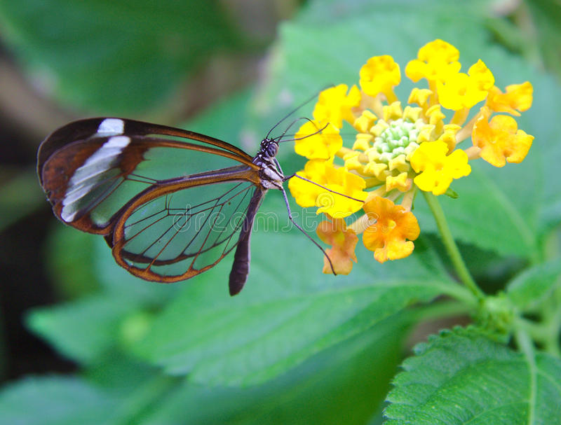 Πεταλούδα της Greta Oto με τις διαφανείς τροφές φτερών στοκ εικόνες με δικαίωμα ελεύθερης χρήσης