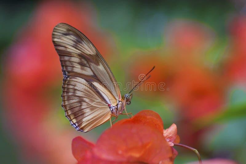 Πεταλούδα της Julia στοκ φωτογραφίες