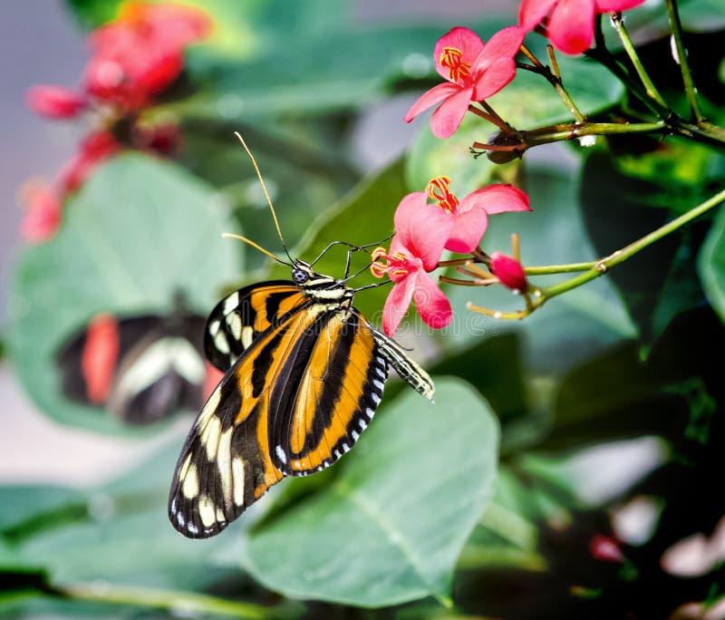 Πεταλούδα τιγρών της Isabella στοκ φωτογραφίες