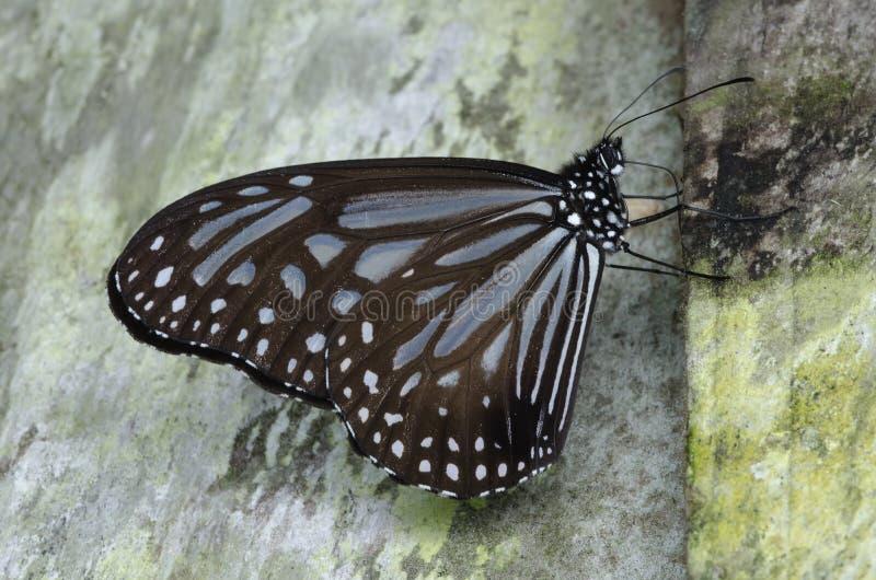 Πεταλούδα τιγρών Kinabalu στοκ εικόνα με δικαίωμα ελεύθερης χρήσης