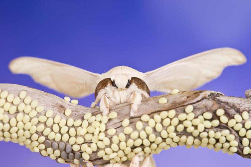Πεταλούδα του κουκουλιού και των αυγών στοκ φωτογραφίες με δικαίωμα ελεύθερης χρήσης