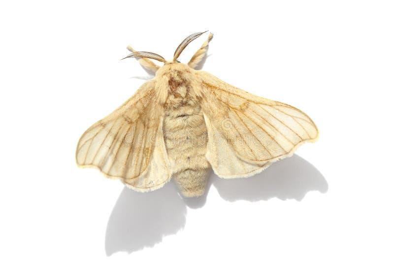 Πεταλούδα του σκώρου μεταξιού στοκ φωτογραφία