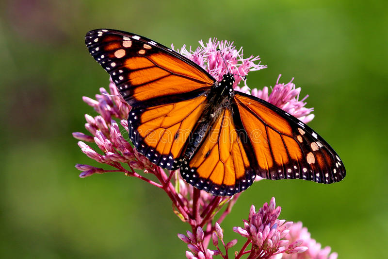 πεταλούδα χρυσή στοκ εικόνα
